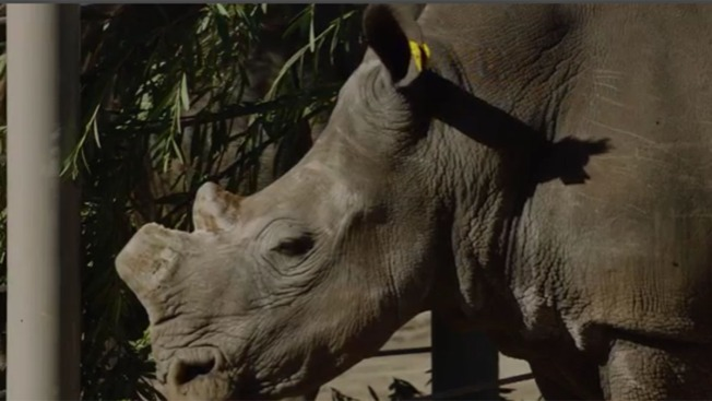 6 Southern White Rhinos Arrive at Safari Park