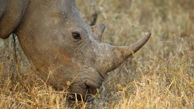 Rhino-horn auction by world's biggest breeder to go ahead