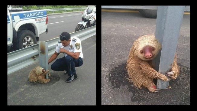 Stranded Sloth Stars Online After Police Rescue