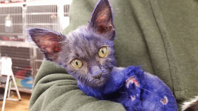 Abused Kitten Dyed Purple, Used as Chew Toy for Another Animal