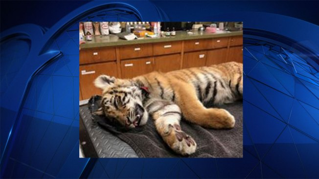 Smugglers Abandon Tiger Cub in Bag Along Texas Border