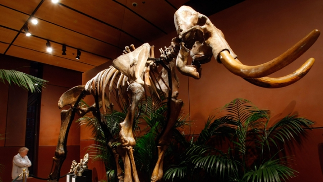 Mammoth Skeleton up for Auction in Paris