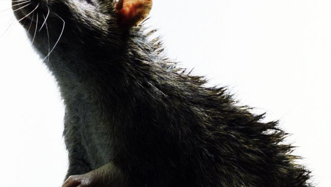 Child Dies From Infected Rat; Family Sues Petco