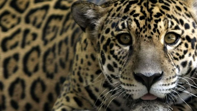 200-Pound Jaguar Mauls Woman at Zoo - NBC 7 San Diego