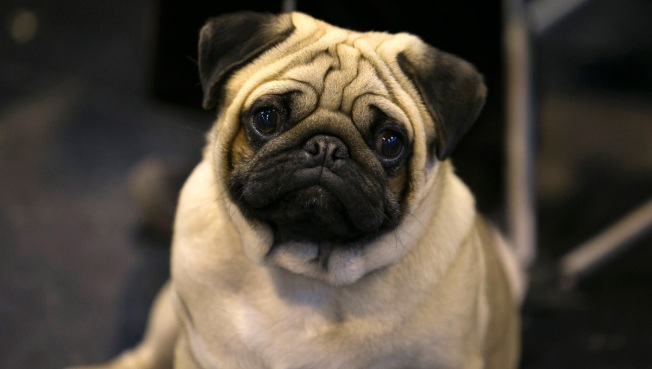 US Dog Lovers Not Sold on British Veterinary Group's Flat-Faced Breeds Warning