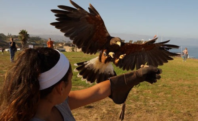 La Jolla in Flight: Falconry Lessons
