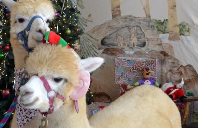 Rancho Santa Fe Awww: Alpaca Ambassadors