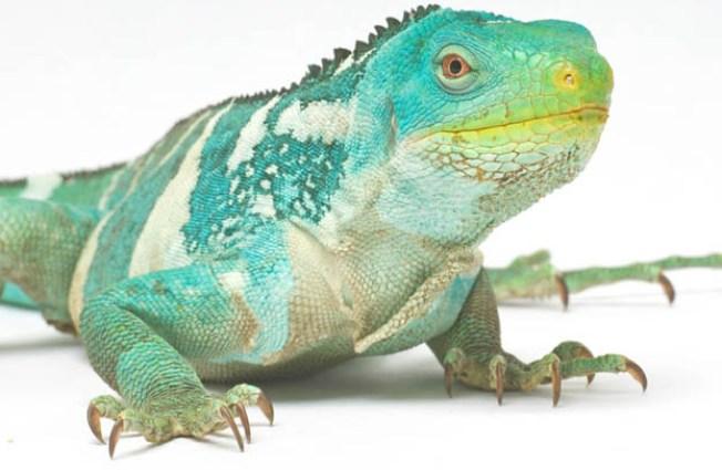 Iguanas Get New Digs