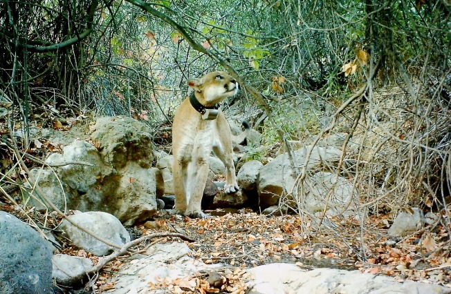 Griffith Park Mountain Lion P-22 Appears Recovered After Poisoning