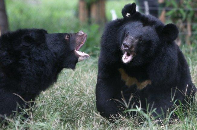 Bear Market: Bile Brought into LA for Sale