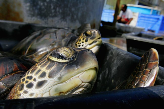 Turtle Tale Has Second Happy Ending