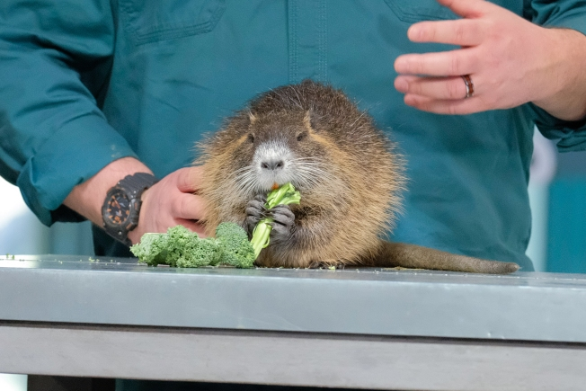 California Considers Adding Nutria to List of Prohibited Pets