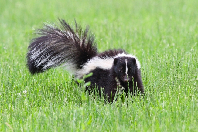 First Rabid Skunk in L.A. County Found in 35 Years