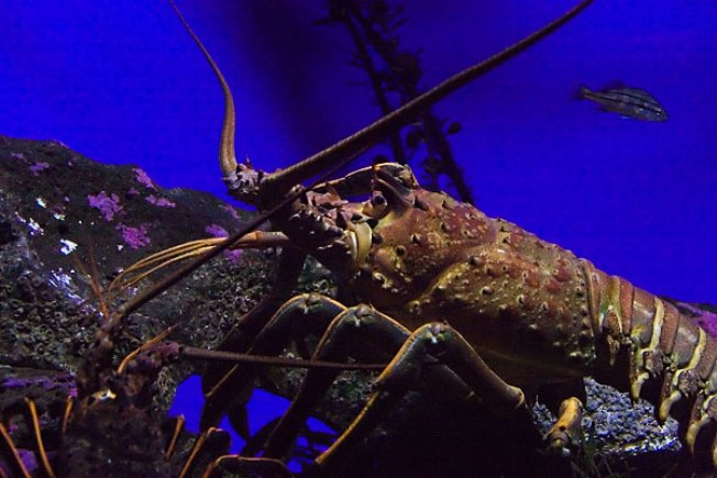 Lobster poacher pinched nbc 7 san diego for Lobster fishing san diego