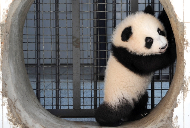 Panda Prices Plunge in San Diego