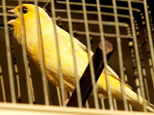 Beaks Sharpened, Finches Were Groomed to Fight: Report