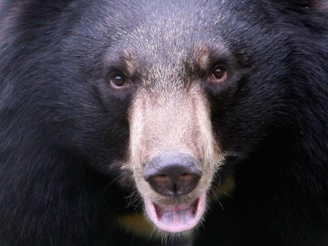 Yosemite Bears Prefer Minivans for Snack Attacks