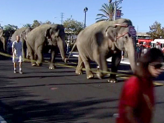 Pachyderm Parade Delights, Angers Onlookers