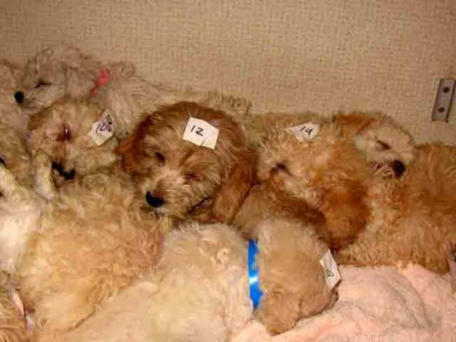 Sick, Smuggled Pups Found at Border: Feds