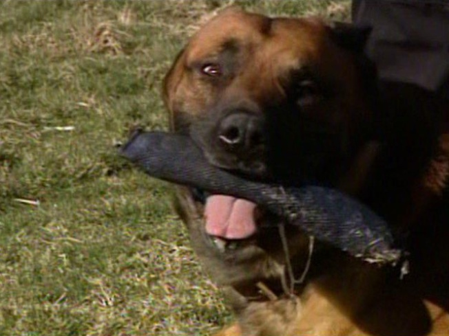 Wounded Police Dog Returns to Force