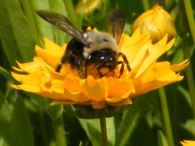 Native California Bees, Crops Vanishing