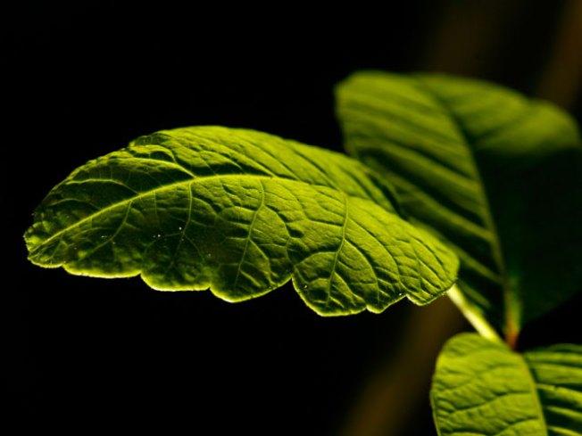Rains Create Poison Oak Bumper Crop