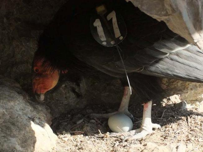California Condor Egg Hatches