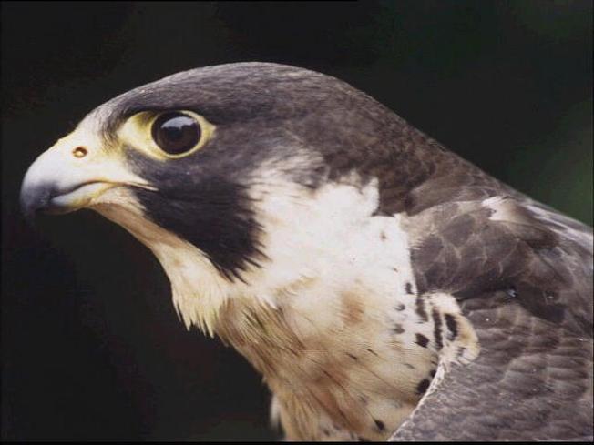 One of SJ City Hall Falcons Dead