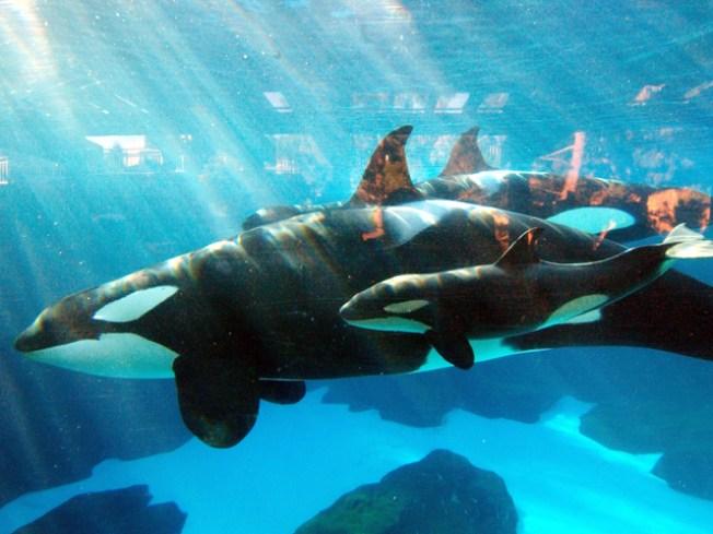 SeaWorld San Diego Orca Kasatka Euthanized After Lengthy Illness
