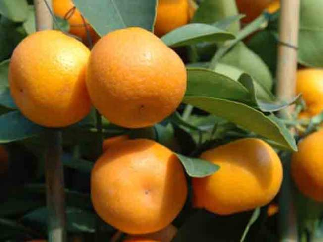 """""""Super Citrus"""" Grown in NorCal May Ease Allergies, Colds"""