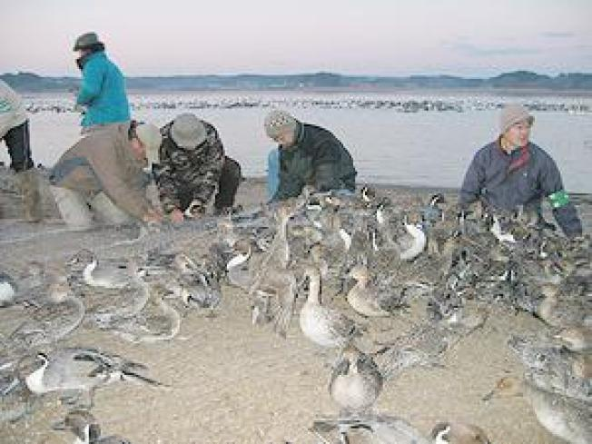 Migratory Ducks Carry Bird Flu from Asia to Alaska