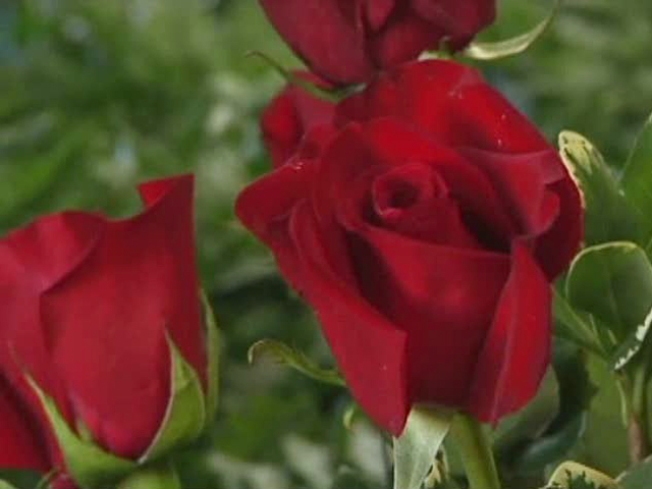 Roses :Yes, Gladiolas: No