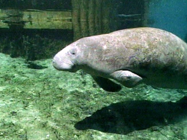 Holy Crap! Mile of Manatee Poop Washes Ashore
