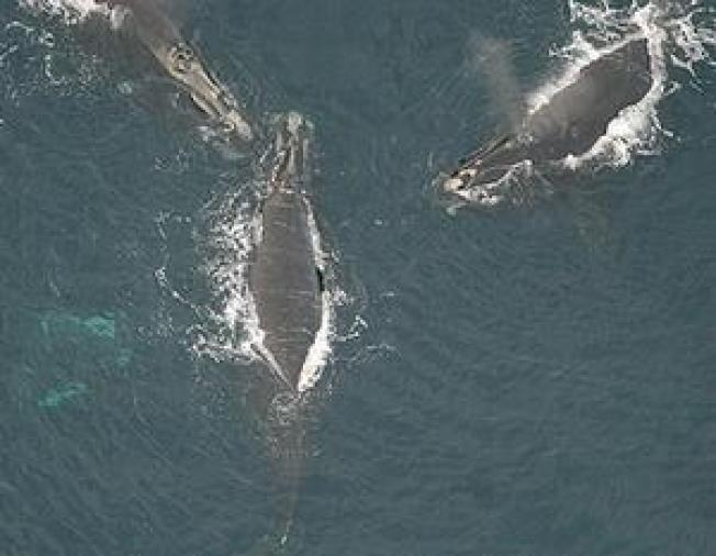 Right Whales' Wintering Ground Found in Gulf of Maine