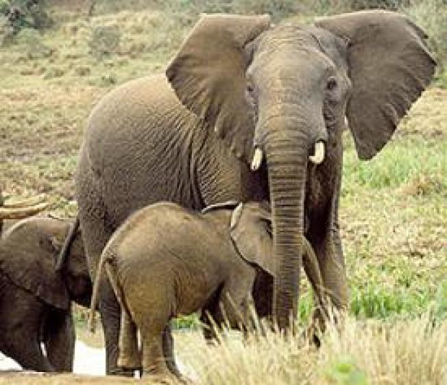 eBay Bans Ivory Trading to Protect Endangered Elephants