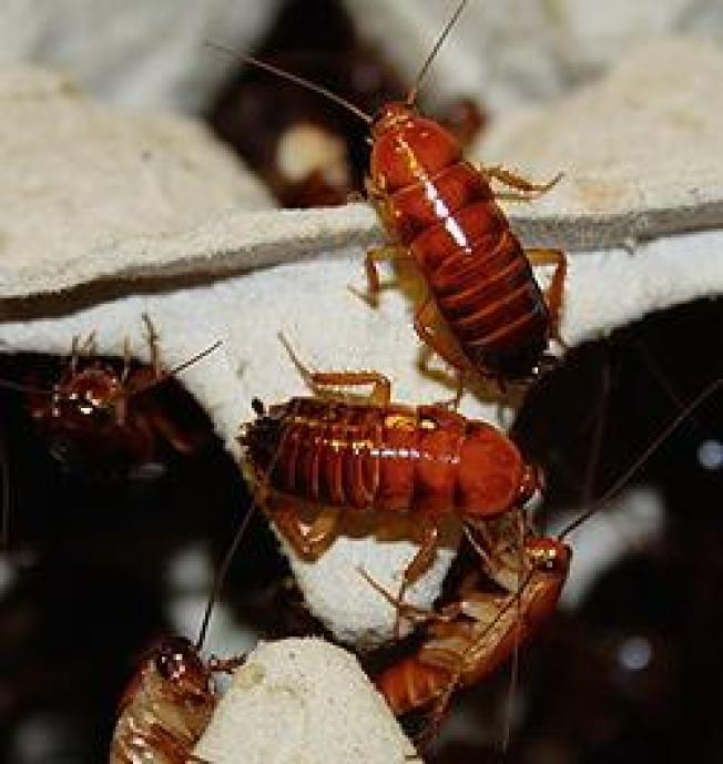 Exotic Cockroaches Appear in Florida