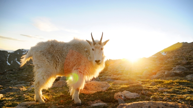 """""""Goat Man"""" Spotted in Utah Mountains"""