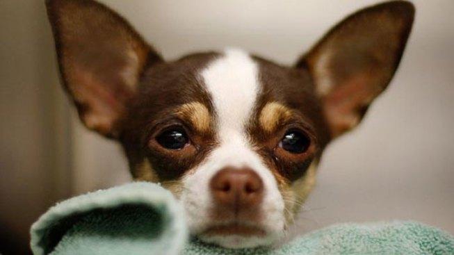 Small Chihuahuas Big Hit for El Paso Baseball