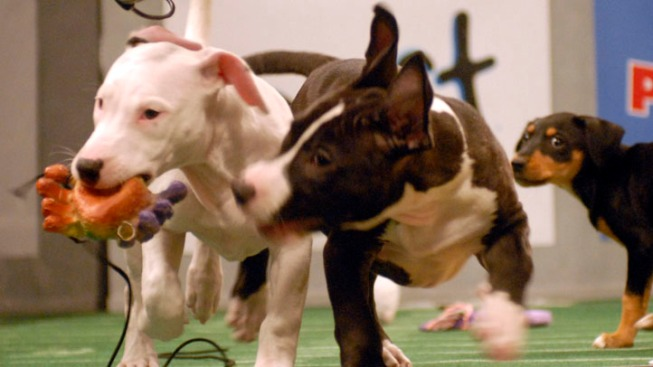 """Animal Shelters are Real Winners of """"Puppy Bowl"""""""