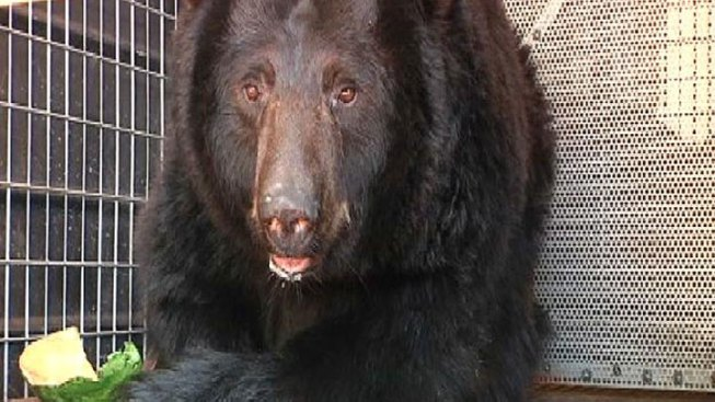 Black Bears Rescued From Defunct Zoo