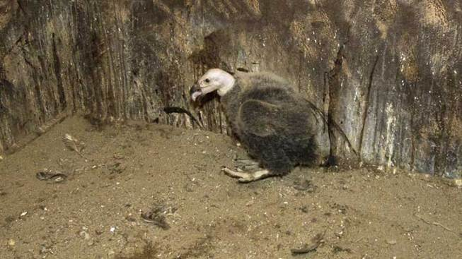 Condor Chick Gets First Checkup