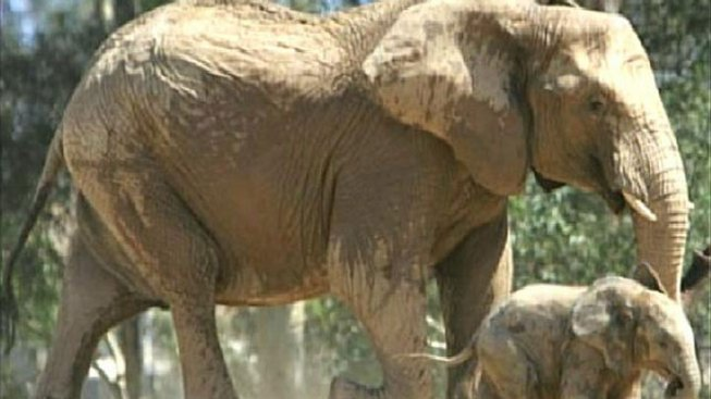 Elephant Dies at San Diego Zoo Safari Park