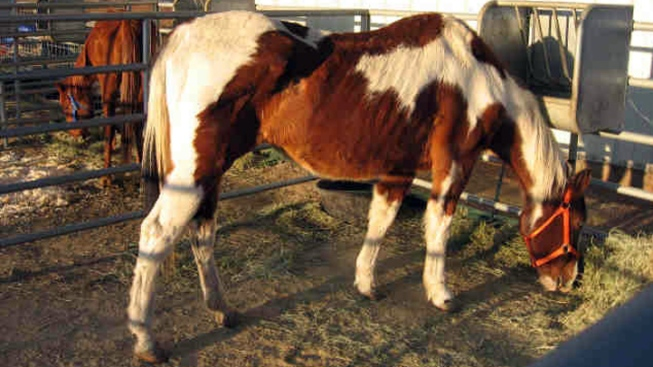 Emaciated Horses Rescued, Need Homes