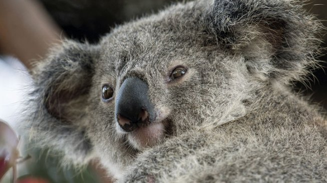 San Diego Zoo's New Koala Gets a Name