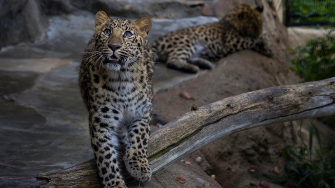 Endangered Leopards Pounce Into SD Zoo