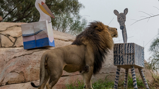 Lions Celebrate Birthdays At San Diego Zoo Safari Park
