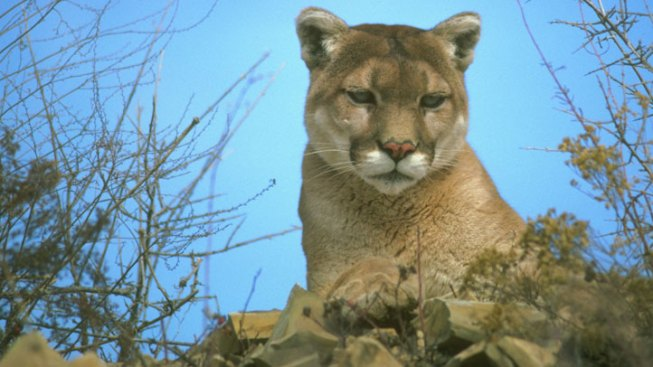 Mountain Lion Found Dead Along Road
