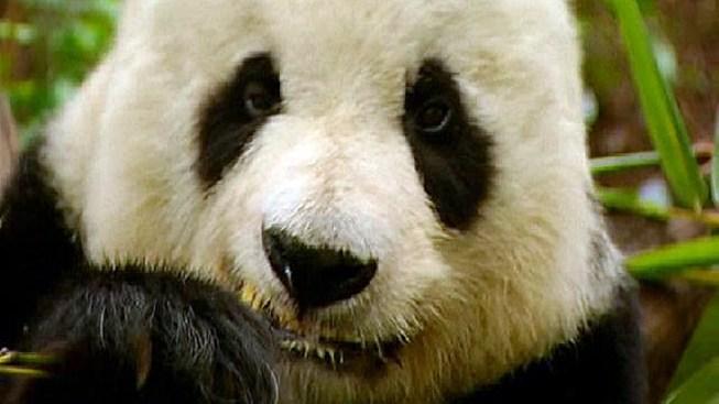 San Diego Zoo on Panda Pregnancy Watch