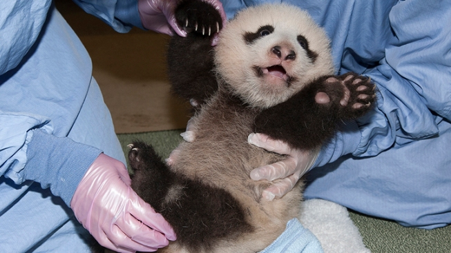 Panda Cub Aces Veterinary Exam