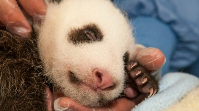 Panda Cub Naming Begins